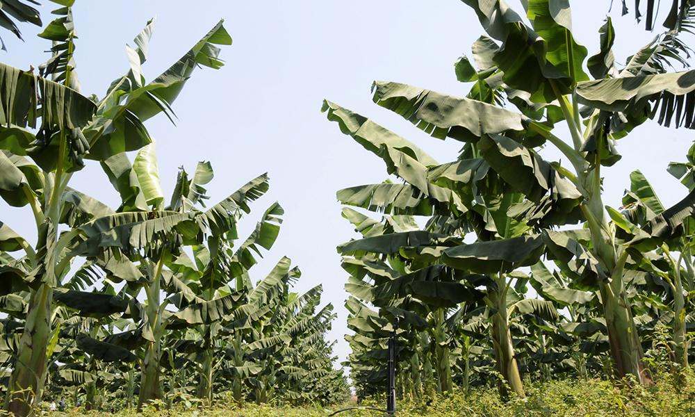 Cultivo de banano en Tocantins, Brasil, bajo el esquema de producción integrada.