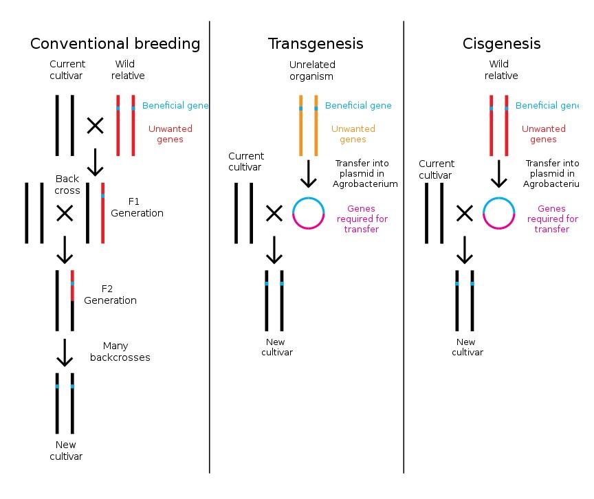 Diferentes formas de obtener un organismo modificado genéticamente. Mejoramiento tradicional, transgénicos, y cisgénesis.