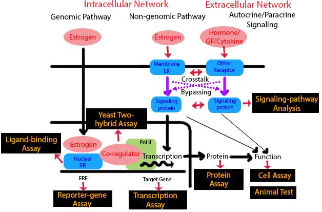 Los disruptores endocrinos pueden actuar como las hormonas del cuerpo, alterando diferentes procesos fisiológicos.