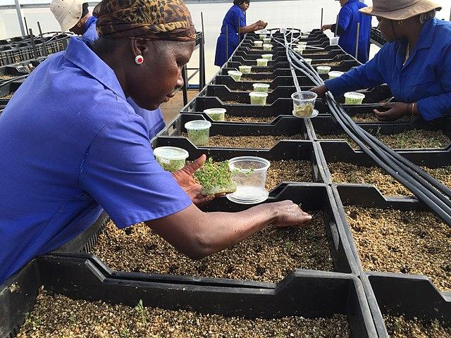 El almacenamiento de semillas es un paso importante durante la producción de semillas ecológicas. En este caso, las semillas de papas derivaron de tubérculos almacenados in vitro.