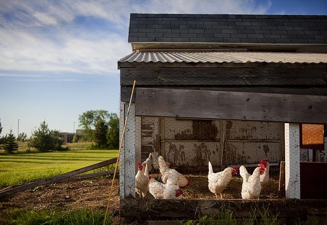 Pollos dentro de un gallinero de avicultura ecológica