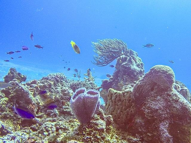 Los arrecifes de coral es uno de los ecosistemas más importantes del planeta. En estos ecosistemas marinos se albergan una cantidad considerable de animales y microalgas. Además, es una de las principales fuentes de generación de oxígeno del planeta.
