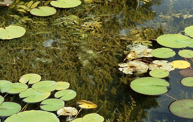 Las plantas componen uno de los grupos más productivos de los ecosistemas de agua dulce, constituyendo ese puente para la entrada de carbono a estos cuerpo de agua intracontinentales.
