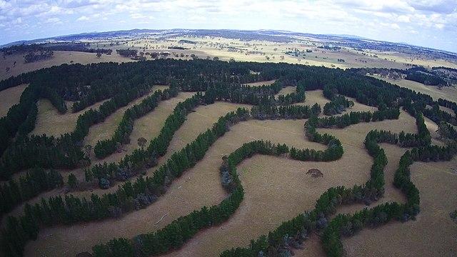 Árboles dispuestos en hileras en un sistema agroforestal