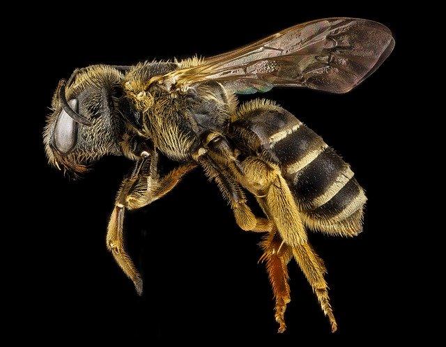 Morfología de una abeja