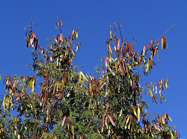 Varias especies de leucaena se usan como abonos verdes