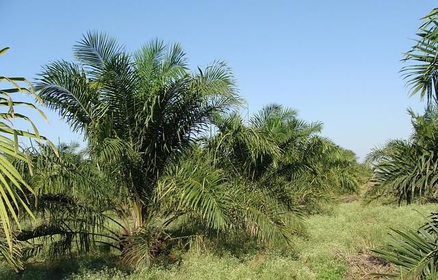 Cultivo de palma aceitera
