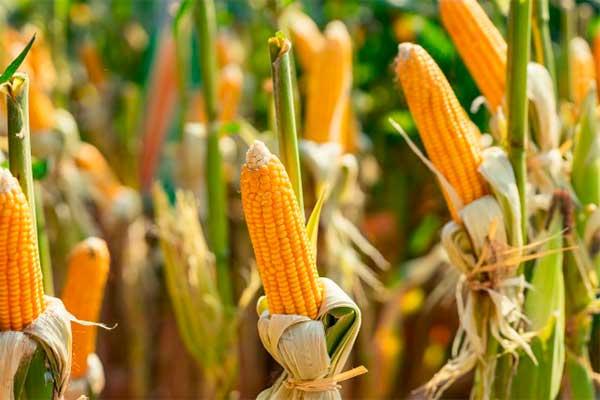 cultivos que se siembran en primavera